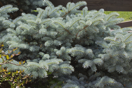 picea: Blue spruce Picea pungens
