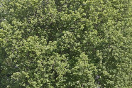 foliage tree: Foliage tree background