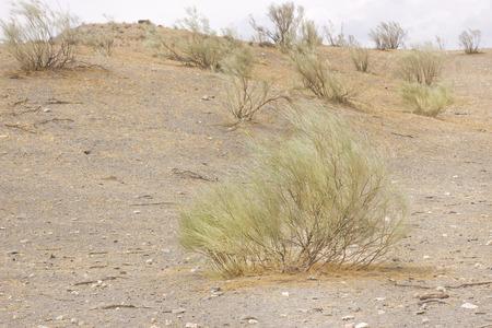 plantas del desierto: Plantas del desierto aislados Retama sphaerocarpa Foto de archivo