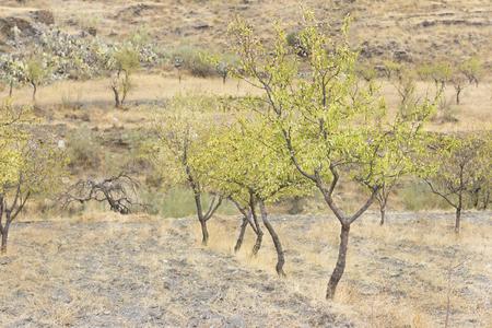almond bud: Almond tree cultivation