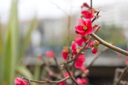 fifteen: Fifteen Closeup blossom (Chaenomeles speciosa)