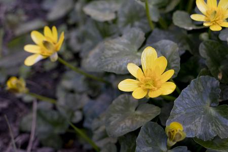 Closeup image of lesser celandine flowers (Ranunculus ficaria).