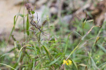 Tiger spider (scytodes globula) resting in web. Foto de archivo