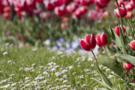 Small red tulip (Tulipa gesneriana) growing close to small daisy flowers in a garden.