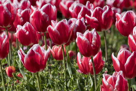 Background image of red and white tulip flowers (Tulipa gesneriana). Foto de archivo