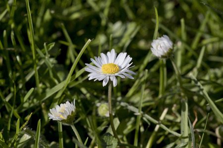 Closeup image of a daisy flower (Bellis perennis) growing in the grass.
