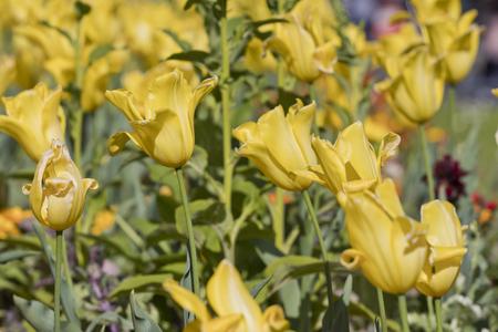 Closeup image of yellow tulip flowers ( (tulipa gesneriana).
