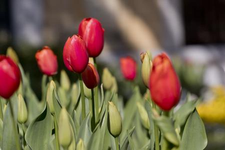 Red tulips growing in a garden (tulipa gesneriana).
