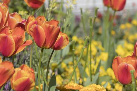 Closeup image of orange tulip flowers (tulipa gesneriana).