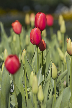 Closeup image of ornamental red tulip flowers (tulipa gesneriana).