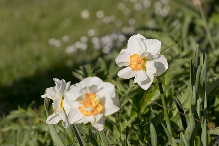 Daffodil (Narcissus) Barrett Browning  flowers. Foto de archivo