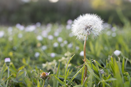 Closeup image of a dandelion(Taraxacum)  from a field full of dandelions.