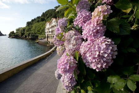 Closeup image of ornamental pink hydrangeas flowers in a sea promenade.