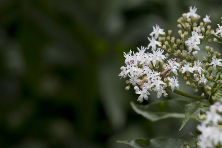 Small cluster of white flowers of viburnum shrub with a red beetle (cerambycidae).