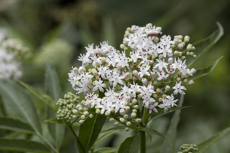 Closeup image of cluster of small white flowers with purple tips from a viburnum shrub. Foto de archivo