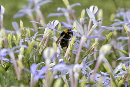 Closeup image of a big bumblebee (Bombus) among purple flowers. Foto de archivo