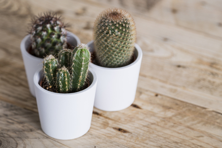 group of plants: Group of three cactus plants