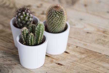 Group of three cactus plants