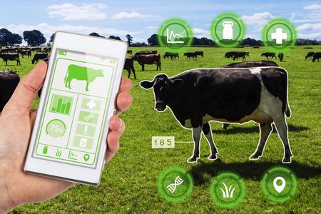Concept Agritech montrant un troupeau de vaches laitières dans un champ avec un agriculteur accédant sans fil aux données et aux statistiques des vaches sélectionnées sur une application pour smartphone. Banque d'images