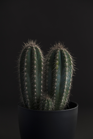 Large cactus plant in dark grey pot with black background