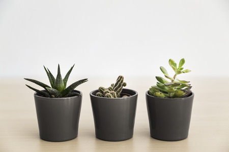 Three small succulent plants in grey pots on a light background