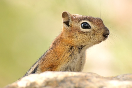 A curious chipmunk poke his head out of  a rock