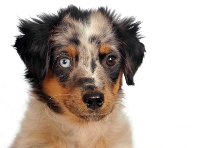 A Miniature Australian Shepherd with iconic eyes (blue and brown).