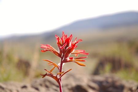 Castilleja miniata - common name Indian Paintbrush