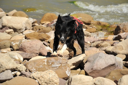 Dog with a lifejacket running on rocky river beach