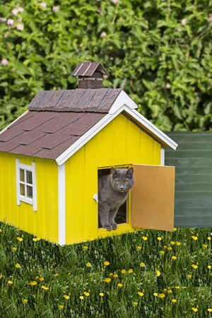 Gray cat looks out of the door of a small house in the country