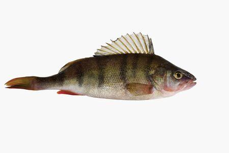 Freshwater fresh striped fish known as the common European perch. Type species: Perca fluviatilis.