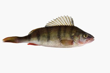 Pesce a strisce fresco d'acqua dolce noto come pesce persico europeo comune. Specie tipo: Perca fluviatilis.