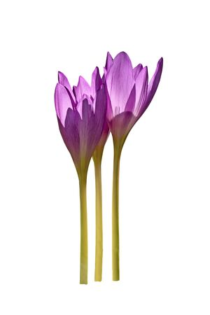 Colchicum autumnale flowers commonly known as autumn crocus or meadow saffron isolated on white background.