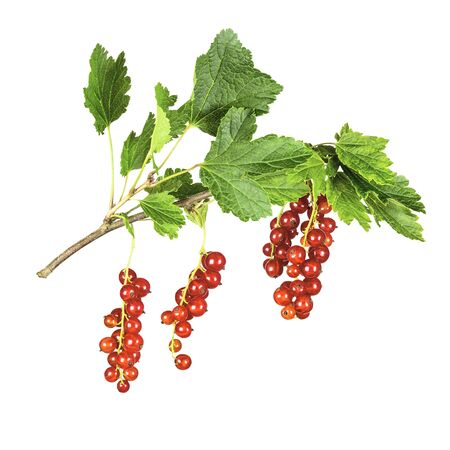 The redcurrant, or red currant is a member of the genus Ribes in the gooseberry family. It is native across Europe.