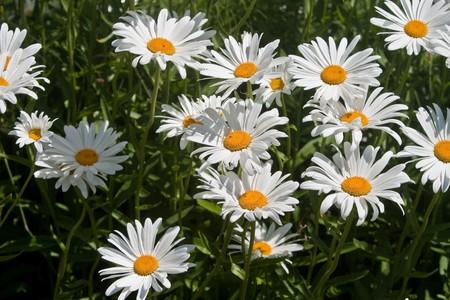Chamomile (Chamaemelium nobile, Anthemis nobilis) flowers