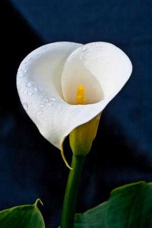lirio acuatico: Calla Lily (Zantedeschia aethiopica) aislado en un fondo oscuro.