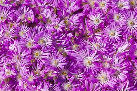 types of cactus: Plant Delosperma Purple Ice Plant (  Delosperma cooperi).
