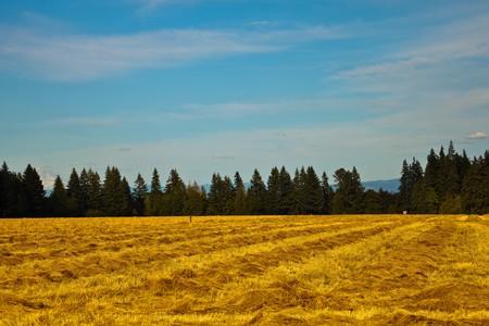 willamette: Golden field. An open, golden agricultural or farm field in Willamette Valley, Oregon, U.S.A.