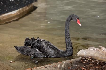 waterbird: The black swan (Cygnus atratus) is a large waterbird. Stock Photo