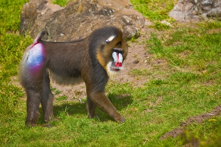 primate: Mandrill (Mandrillus sphinx). Photo depicts primate with olive-colored fur and the colorful face and rump of males, a coloration that grows stronger with sexual maturity.