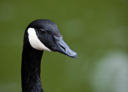 Canada Goose head close up isolated on green.  photo