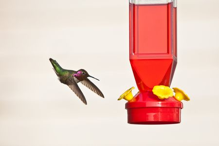 Hummingbird and feeder. Annas Hummingbird hovering next to red feeder, isolated against light background photo