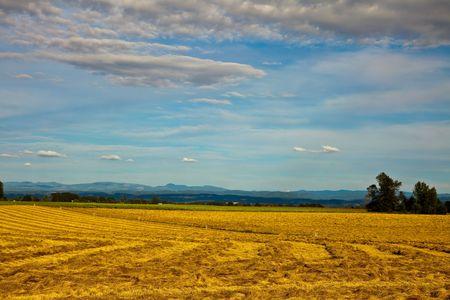 Golden  field Stok Fotoğraf