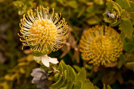 distinctive: Yellow Pincushion Protea (Leucospermum)  Distinctive dome shaped flower heads which look like a pincushion filled with pins.