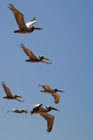 Brown Pelican (Pelecanus occidentalis) in flight