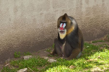 Mandrill (Mandrillus sphinx). Photo depicts primate with olive-colored fur and the colorful face and rump of males, a coloration that grows stronger with sexual maturity. photo