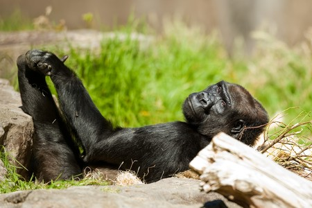 lowland: Western Lowland Gorilla. Western Lowland Gorilla is resting on her back on a sunny afternoon.