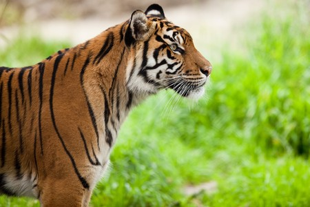 Tiger (Panthera tigris).  Close-up portrait of a tiger observing its territory.