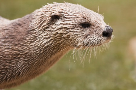 North American River Otter (Lutra Canadensis) Stock Photo - 7516603