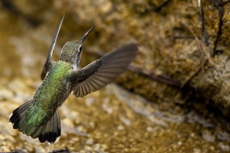 Hummingbird.  View of hummingbird hovering above man-made waterfalls in Golden Gate Park, San Francisco, California 版權商用圖片